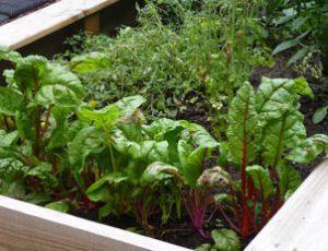 lettuce_three
