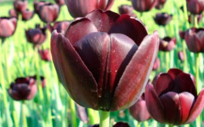 Rare Tulips of Amsterdam