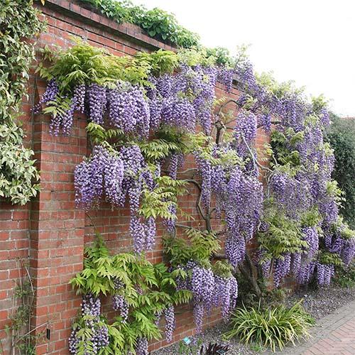 wisteria_purple