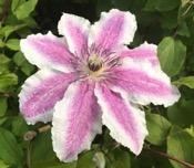 Star of Wonder 21 dec - Spring Starflower