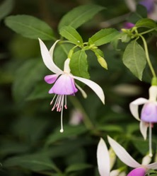 Star of Wonder 21 dec - magnolia stellata