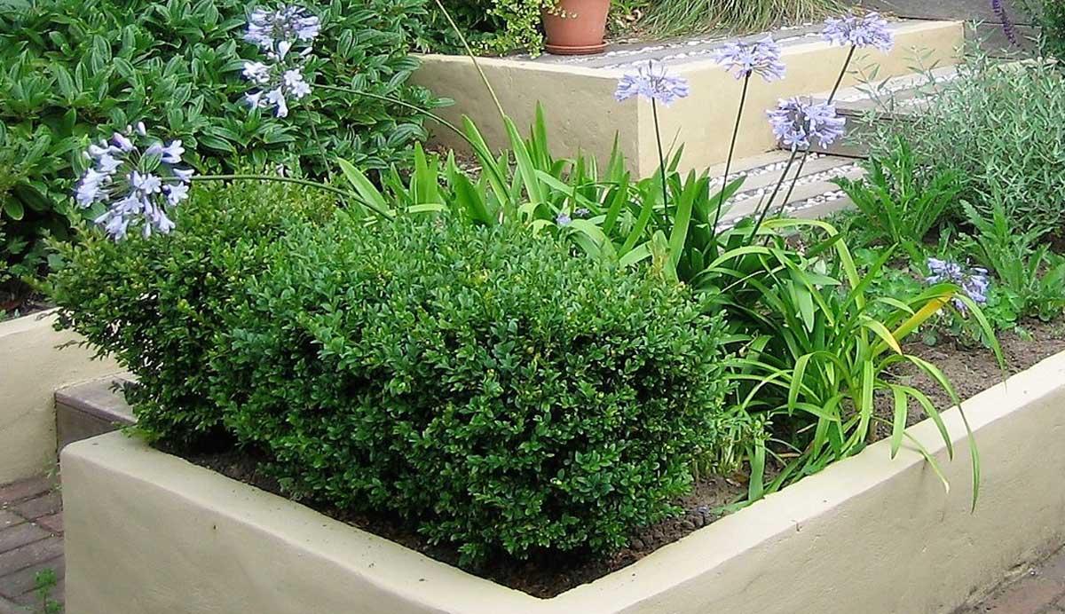 Chic_courtyard_garden_Oakwood_box_agapanthus_5