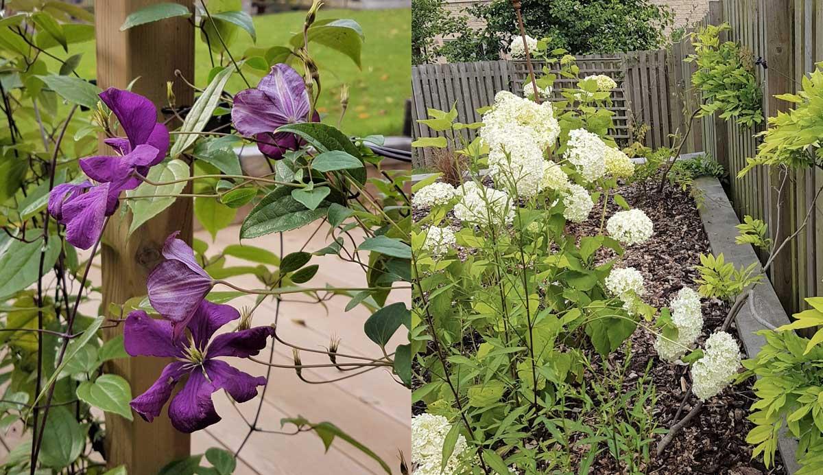 Stylish_terraced_garden_Menston_clematis_wisteria_hydrangea_6_7