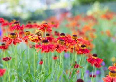 3.-Garden_of_abundance_Adel_rear_garden_summer_-heleniums