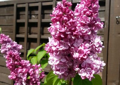 3.-Year_round_garden_Meanwood_lilac