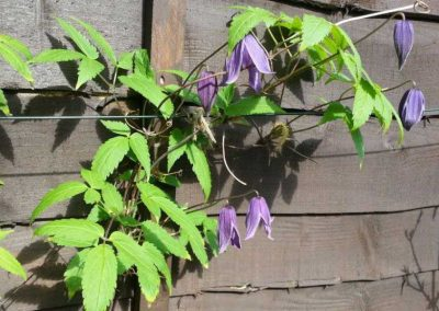 6.-Year_round_garden_Meanwood_clematis