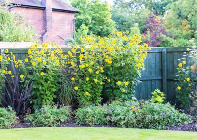6..-Garden_of_Abundance_Adel_rear_garden_sunflowers
