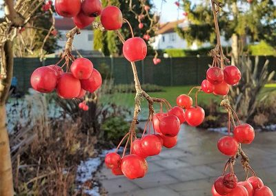 8.-Garden_of_Abundance_Adel_rear_garden_crabapple_in_winter