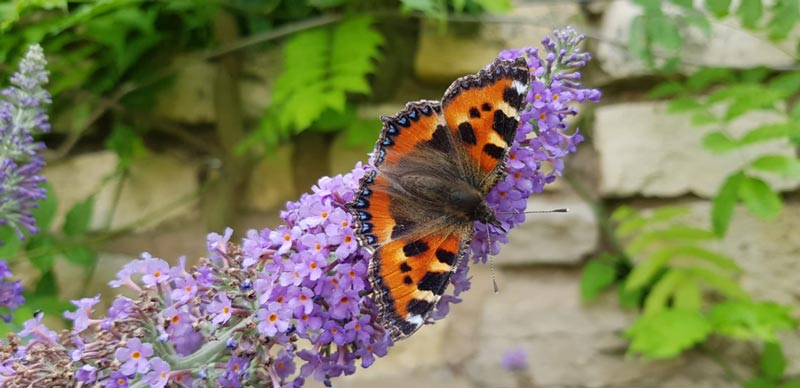 North-Leeds-Garden-Design-Small-Tortoiseshell-Butterfly