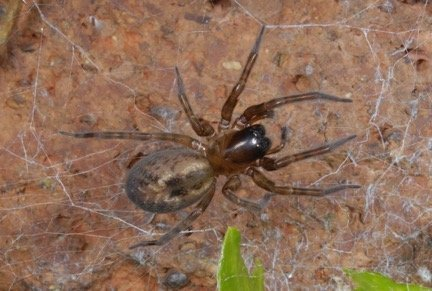 An Autumn half term Lace Web Spider