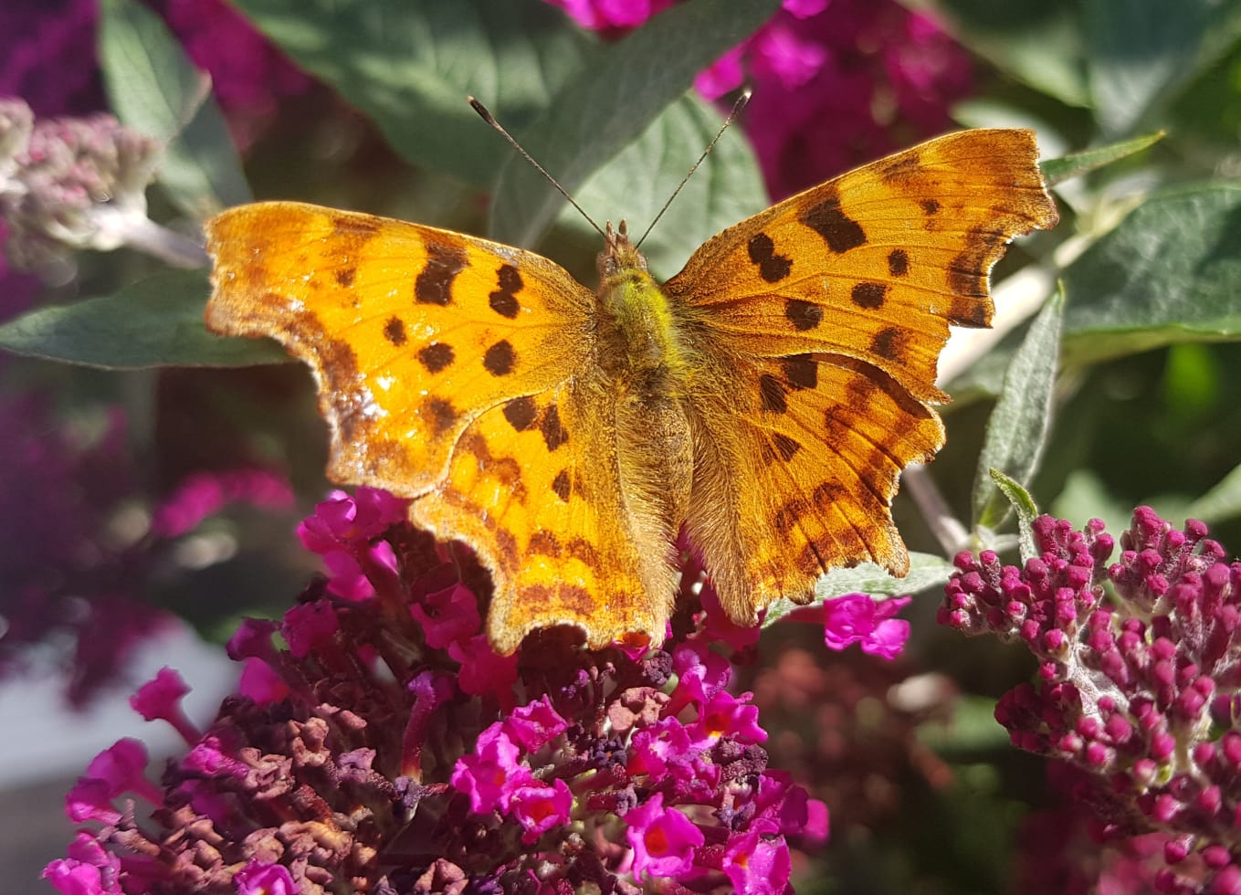 North_Leeds_Garden_Design_Comma_Butterfly