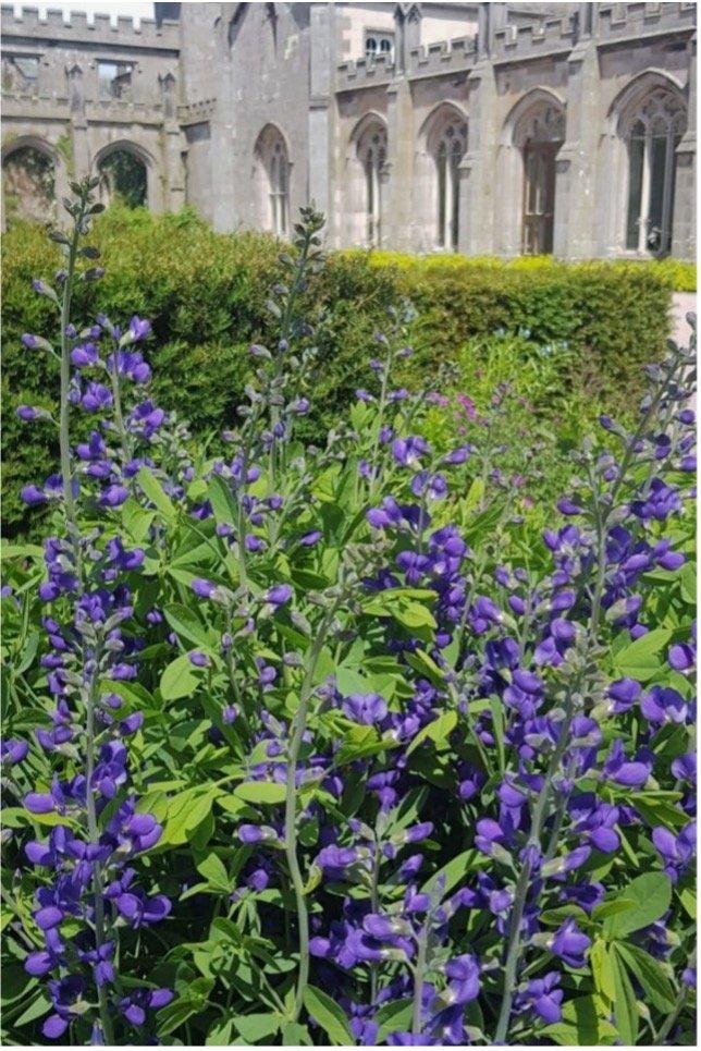 Lowther_Castle_&_Gardens_baptisia_ castle_parterre